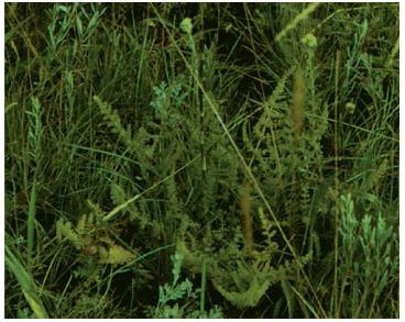 Palimbia salsa (L. f.) Besser (P. rediviva (Pall.) Thell., Sison salsum L.f.)