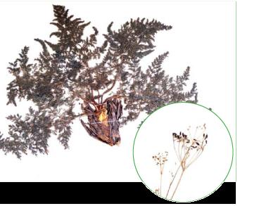 Палімбія тургайська (Palimbia turgaica Lipsky ex Woronow)