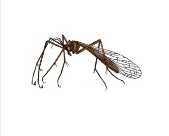 Комарівка італійська (Bittacus italicus (Müller, 1786))