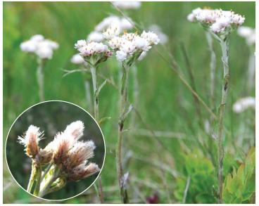 Кошачья лапка карпатская (Antennaria carpatica (Wahlenb.) Bluff et Fingerh.)