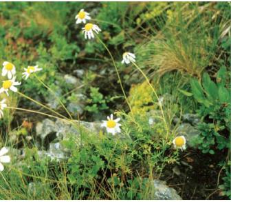 Роман карпатський (Anthemis carpatica Waldst. et Kit ex Willd.)