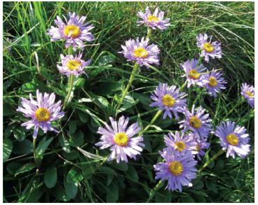 Айстра альпійська (Aster alpinus L.)