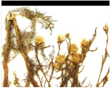 Василёк крупнопридатковый (Centaurea appendicata Klokov (C. margaritacea Ten. subsp. appendicata (Klokov) Dostál))