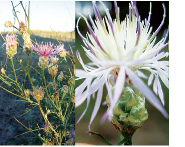 Волошка короткоголова (Centaurea breviceps Iljin (C. margaritacea Ten. subsp. breviceps (Iljin) Dostál))