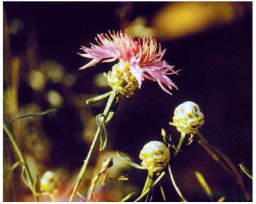 Волошка донецька (Centaurea donetzica Klokov (C. margaritacea Ten. subsp. donetzica (Klokov) Dostál))