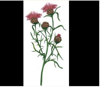 Василёк Конки (Centaurea konkae Klokov (C. margaritacea Ten. subsp. konkae (Klokov) Dostál))