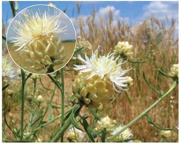 Василёк жемчужный (Centaurea margaritacea Ten.)