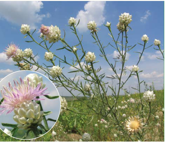 Василек беложемчужный (Centaurea margarita-alba Klokov (C. margaritacea Ten. subsp. margarita-alba (Klokov) Dostál; C. margaritalba Klokov, ortho))