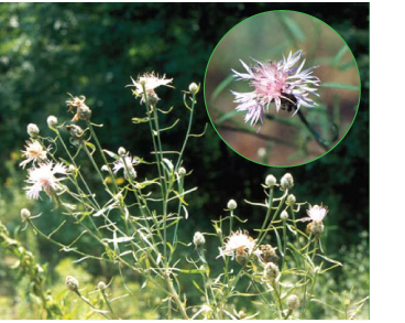 Волошка первинногерберова (Centaurea protogerberi Klokov (C. margaritacea Ten. subsp. protogerberi (Klokov) Dostál))