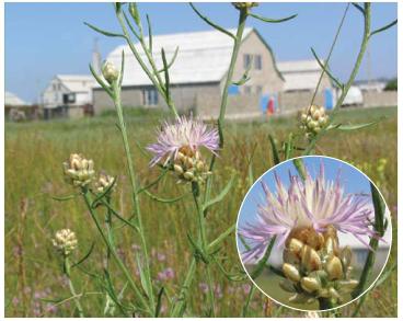 Василёк первичножемчужный (Centaurea protomargaritacea Klokov (C. margaritacea Ten. subsp. protomargaritacea (Klokov) Dostál))