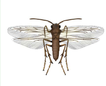 Окситира желтоусая (Oxyethira favicornis (Pictet, 1834))