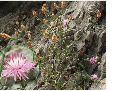 Centaurea steveniana Klokov (C. ovina Pall. ex Willd. subsp. steveniana (Klokov) Dostál)