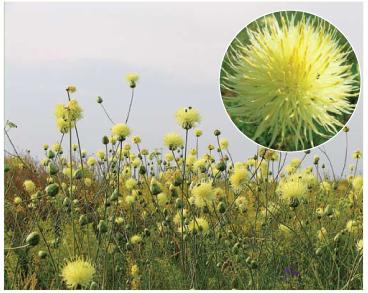 Василёк Талиева (Centaurea taliewii Kleopow)