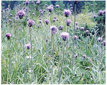 Осот різнолистий (Cirsium heterophyllum (L.) Hill (Carduus heterophyllus L.))
