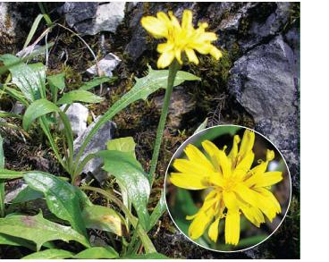 Скереда Жакена (Crepis jacquinii Tausch)