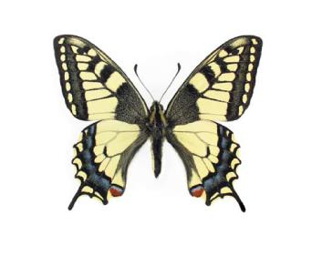 Махаон (Papilio machaon (Linnaeus, 1758))