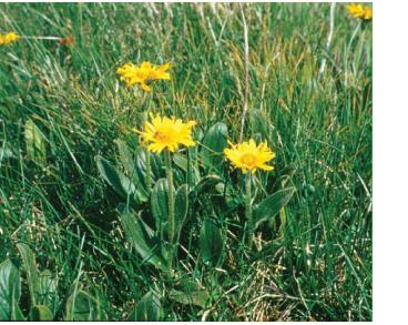 Сугайник штирійський (Doronicum stiriacum (Vill.) Dalla Torre (D. clusii auct. non (All.) Tausch; D. clusii (All.) Tausch subsp. villosum (Tausch) Vierh.; D. clusii (All.) Tausch subsp. stiriacum (Vill.) Vierh.))