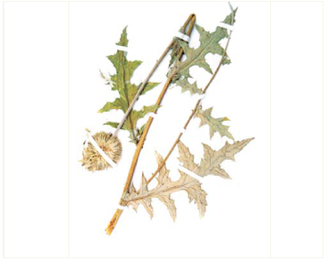 Головатень високий (Echinops exaltatus Schrad. (E. commutatus Juratzka))