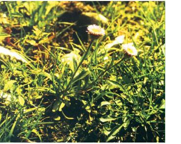 Злинка альпійська (Erigeron alpinus L.)