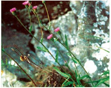 Злинка залозиста (Erigeron atticus Vill.)