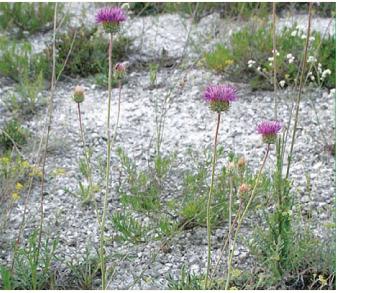 Наголоватка Талиева (Jurinea talievii Klokov (J. cretacea auct. non Bunge))