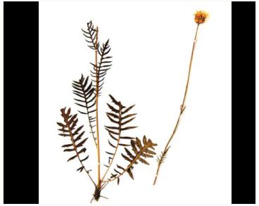 Серпій донецький (клязея донецька) (Klasea donetzica (Dubovik) J.Holub (K. radiata (Waldst. et Kit.) Á.Löve et D.Löve subsp. donetzica (Dubovik) L.Martins; Serratula donetzica Dubovik))