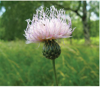 Серпій донський (клязея донська) (Klasea tanaitica (P.Smirn.) J.Holub (K. radiata (Waldst. et Kit.) Á.Löve et D.Löve subsp. tanaitica (P.Smirn.) L.Martins; Serratula tanaitica P.Smirn.))