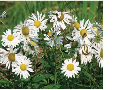 Короличка пізня (Leucanthemella serotina (L.) Tzvelev. (Chrysanthemum serotinum L., Leucanthemum serotinum (L.) Stank, Tanacetum serotinum (L.) Sch. Bip.))