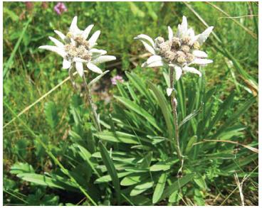 Білотка альпійська, едельвейс, шовкова косиця (Leontopodium alpinum Cass.)