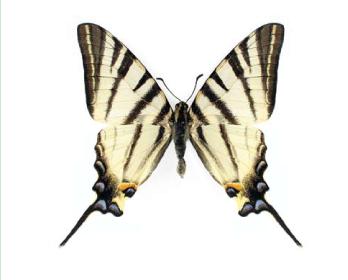 Подалірій (Iphiclides podalirius (Linnaeus, 1758))