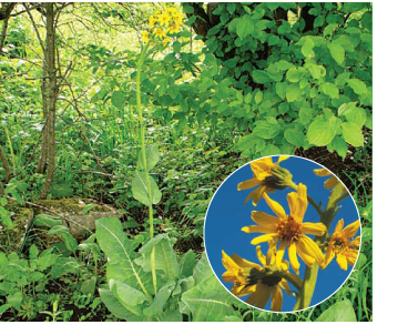 Язичник сивий (Ligularia glauca (L.) J.Hoffm. (L. carpatica (Schott, Nym. et Kotschy) Pojark.; L. bucovinensis auct. non Nakai))