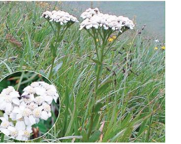 Чихавка язичкова (деревій язичковий) (Ptarmica lingulata (Willd. et Kit.) DC. (Achillea lingulata Waldst. et Kit., A. alpina Schur))
