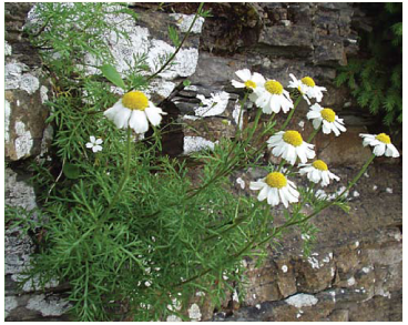 Ptarmica tenuifolia (Schur) Schur (Achillea oxyloba (DC.) Sch.Bip. subsp. schurii (Sch.Bip.) Heimerl, A. schurii Sch.Bip.)