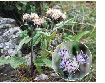 Соссюрея альпийская (Saussurea alpina (L.) DC.)
