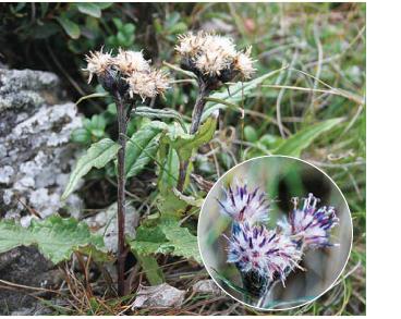 Соссюрея альпійська (Saussurea alpina (L.) DC.)