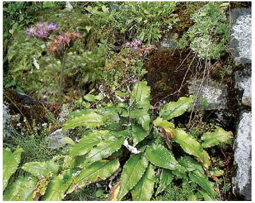 Соссюрея разноцветная (Saussurea discolor (Willd.) DC. (Serratula discolor Willd.))