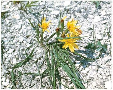 Козелец австрийский (Scorzonera austriaca Willd.)
