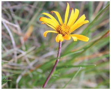 Senecio carpathicus Herbich (Jacobaea abrotanifolia (L.) Moench. subsp. carpathica (Herbich) B.Nord. et Greuter; S. abrotanifolius L. subsp. carpathicus (Herbich) Nyman; S. carpaticus Herbich, ortho)