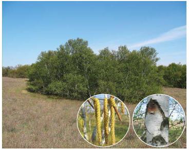 Берёза днепровская (Betula borysthenica Klokov)