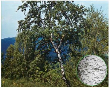Береза Клокова (Betula klokovii Zaverucha)