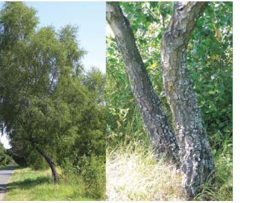 Береза темна (Betula obscura A.Kotula (incl. B. kotulae Zaverucha; B. pendula Roth subsp. obscura (A.Kotula) Á.Löve, B. verrucosa Ehrh. subsp. obscura (A.Kotula) Á.Löve et D.Löve))