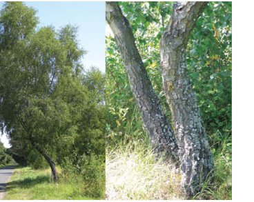 Берёза тёмная (Betula obscura A.Kotula (incl. B. kotulae Zaverucha; B. pendula Roth subsp. obscura (A.Kotula) Á.Löve, B. verrucosa Ehrh. subsp. obscura (A.Kotula) Á.Löve et D.Löve))