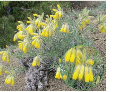 Onosma polyphylla Ledeb.