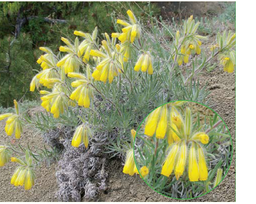 Громовик багатолистий (Onosma polyphylla Ledeb.)