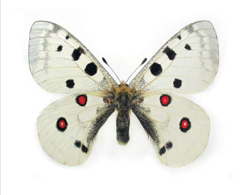 Бабочка Аполлон (Parnassius apollo (Linnaeus, 1758))