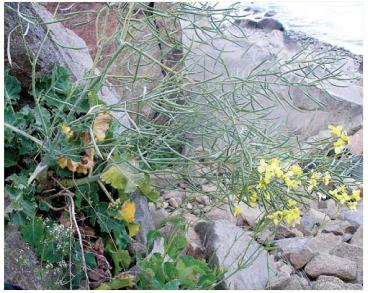 Капуста кримська (Brassica taurica (Tzvelev) Tzvelev (B. sylvestris (L.) Miller subsp. taurica Tzvelev; B. sylvestris auct. non (L.) Mill.; B. incana auct. non Ten.))