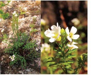 Жеруха грецька (Cardamine graeca L.)