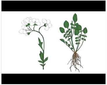 Сердечник тонкий (Cardamine tenera S.G. Gmelin ex C.A. Meyer (C. uliginosa M. Bieb. subsp. tenera (S.G. Gmelin ex C.A. Meyer) Schmalh.))