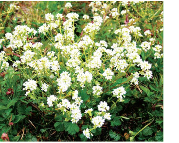 Cochlearia pyrenaica DC. (incl. C. polonica auct. non E.Froehl.)