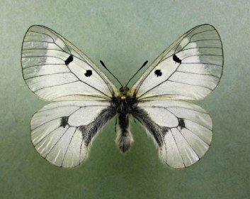 Мнемозина (Parnassius mnemosyne (Linnaeus, 1758))